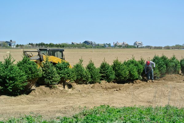 A row of evergreen trees was planted last week around the open-space easement on a property in Sagaponack where a subdivision application was denied last winter.            DANA SHAW