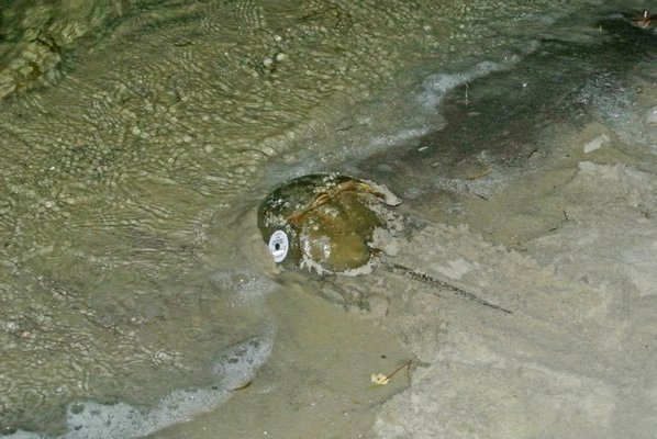 A horseshe crab heads back into the bay after being tagged.  DANA SHAW