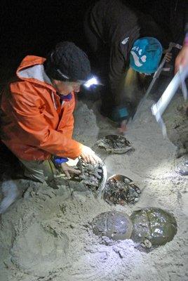 Volunteers wrangle and tag horseshoe crabs at Pikes Beach.  DANA SHAW