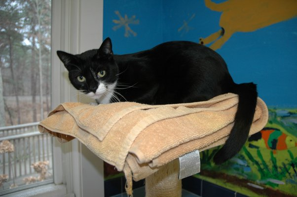 one of the many black cats up for adoption at the Animal Rescue Fund of the Hamptons. ELIZABETH VESPE