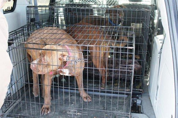 Three 11-month-old pit bulls