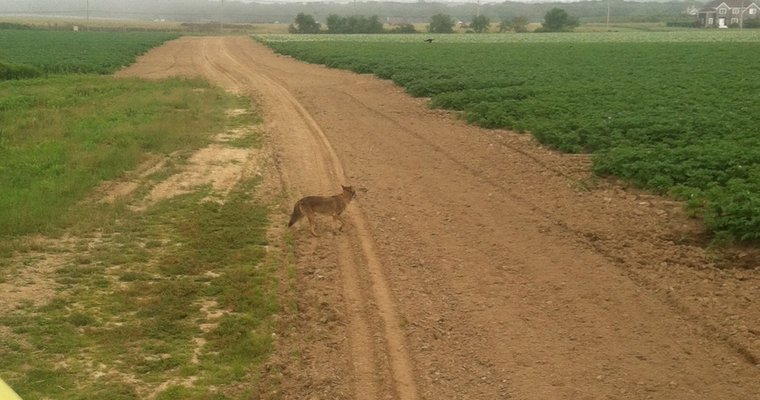 Duane Arnister snapped this photo of a coyote in Water Mill last week.