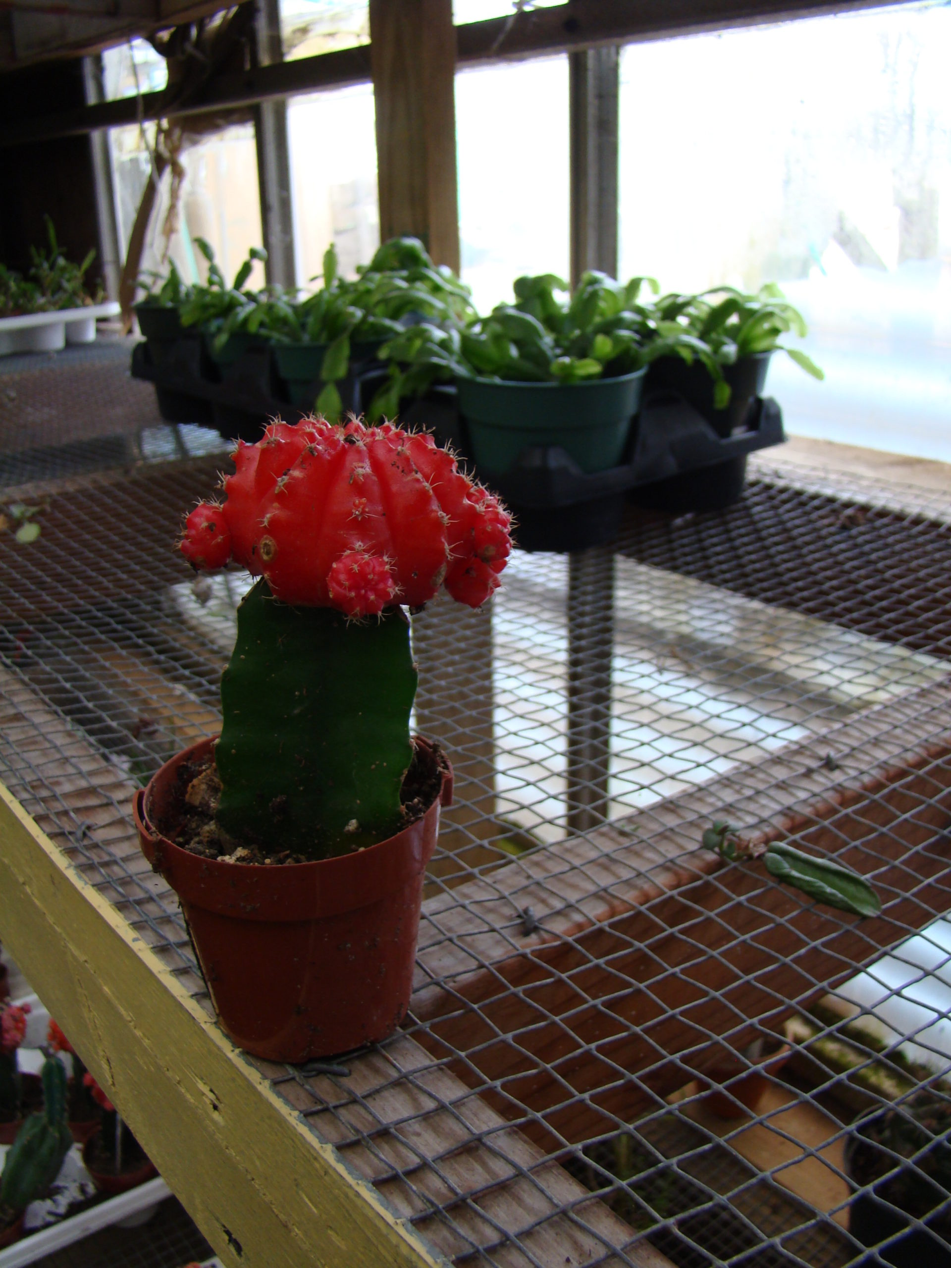 This is a grafted cactus where the colorful top is grafted to a different cactus below. These rarely live for long and can be a disappointment when give to children, giving them early black thumb phobias. It's not their fault.