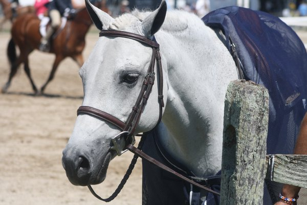 A pony patiently waits for his turn in the show ring. CAILIN RILEY