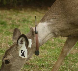 East Hampton Village has been carrying out a controversial deer sterilization program.