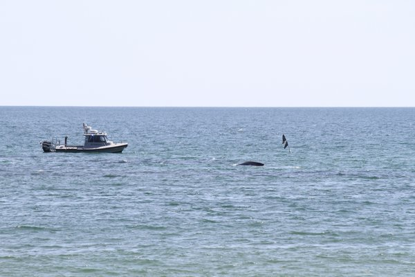 A whale is entangled in a net off Townline Road in Sagaponack. Michael Wright Michael Wright