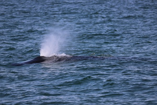 Bay Constables and scientists from the Atlantic Marine Conservation Society were trying to figure out how to free the whale when it apparently broke free of the net on its own. AMCS