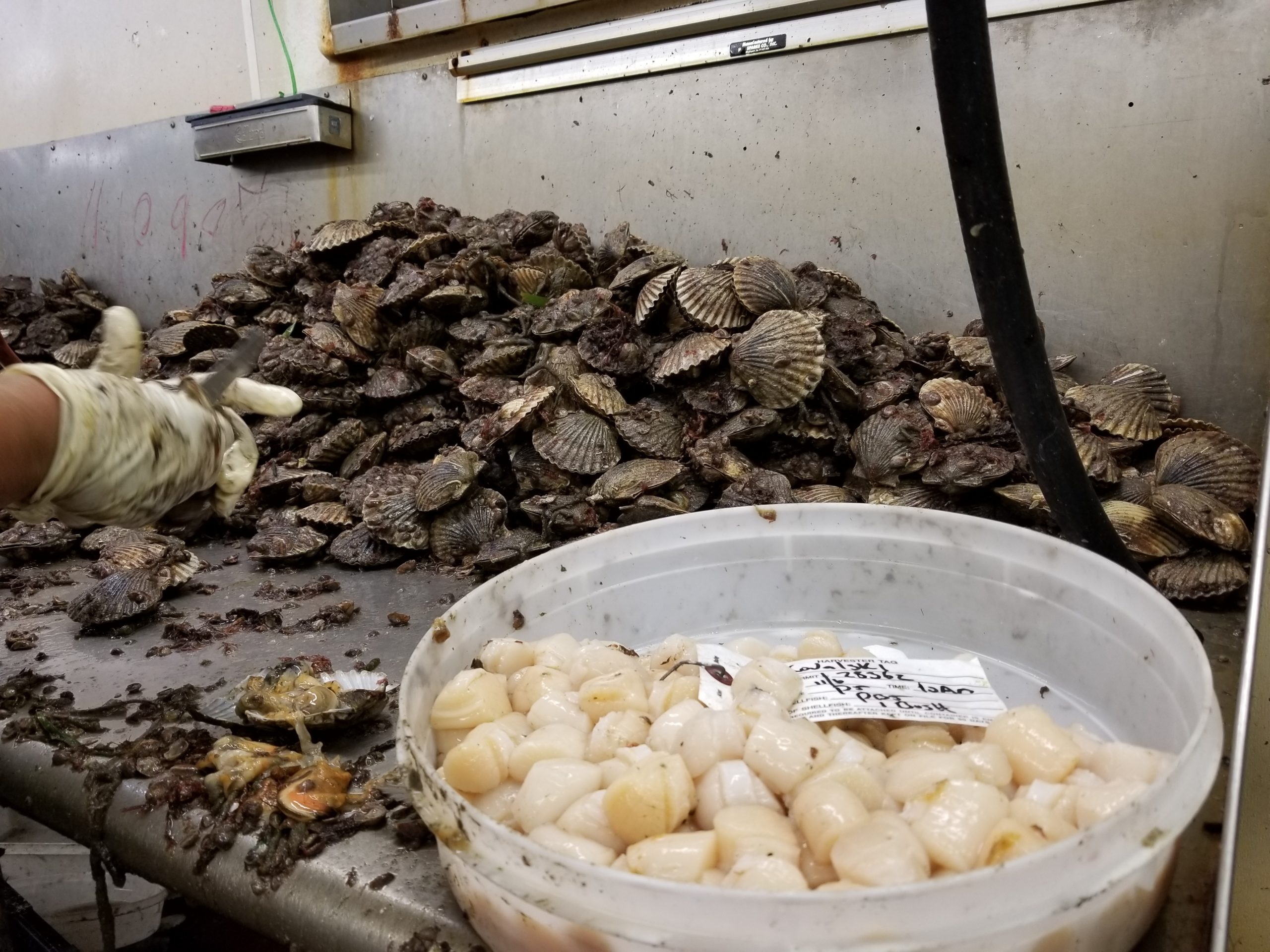 Over 100,000 pounds of scallops are harvested each year from the Peconic Bay estuary. GREG WEHNER