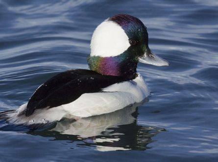 SOFO: Birding with Frank—Pond & Bay Waterfowl: Adults/Teens