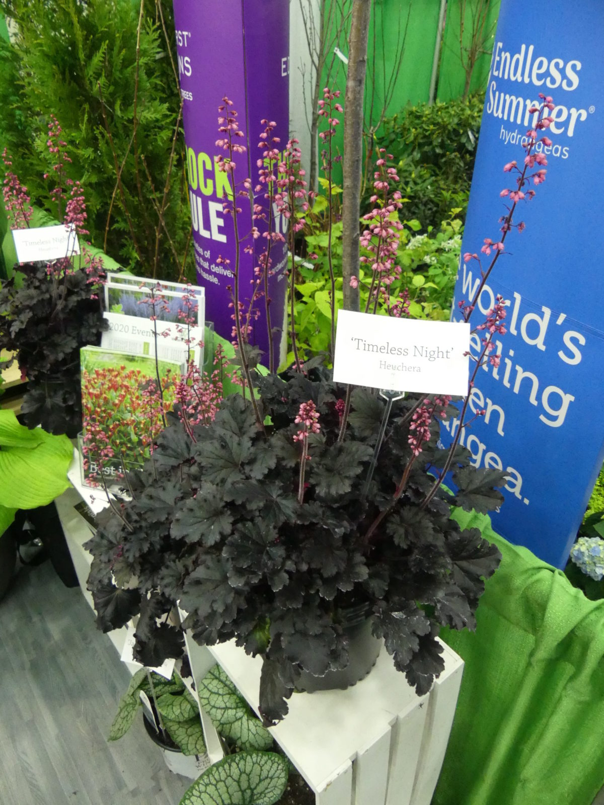 Heuchera Timeless Night was introduced by Walters Gardens last year and will show up in garden centers this year. It has dark foliage that's almost black with medium pink flowers. It will perform similarly to other Heucheras in the