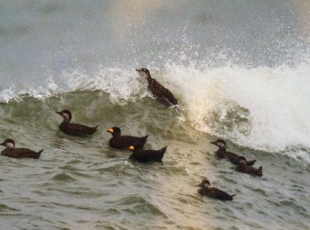 SOFO: Birding with Frank—Winter Sea Ducks: Adults/Teens