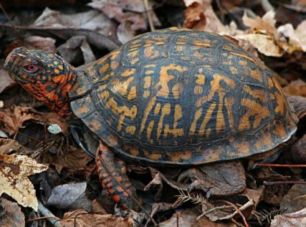 SOFO: Box Turtle at Long Pond—Storytime & Meet the Box Turtles: Children ages 3-5