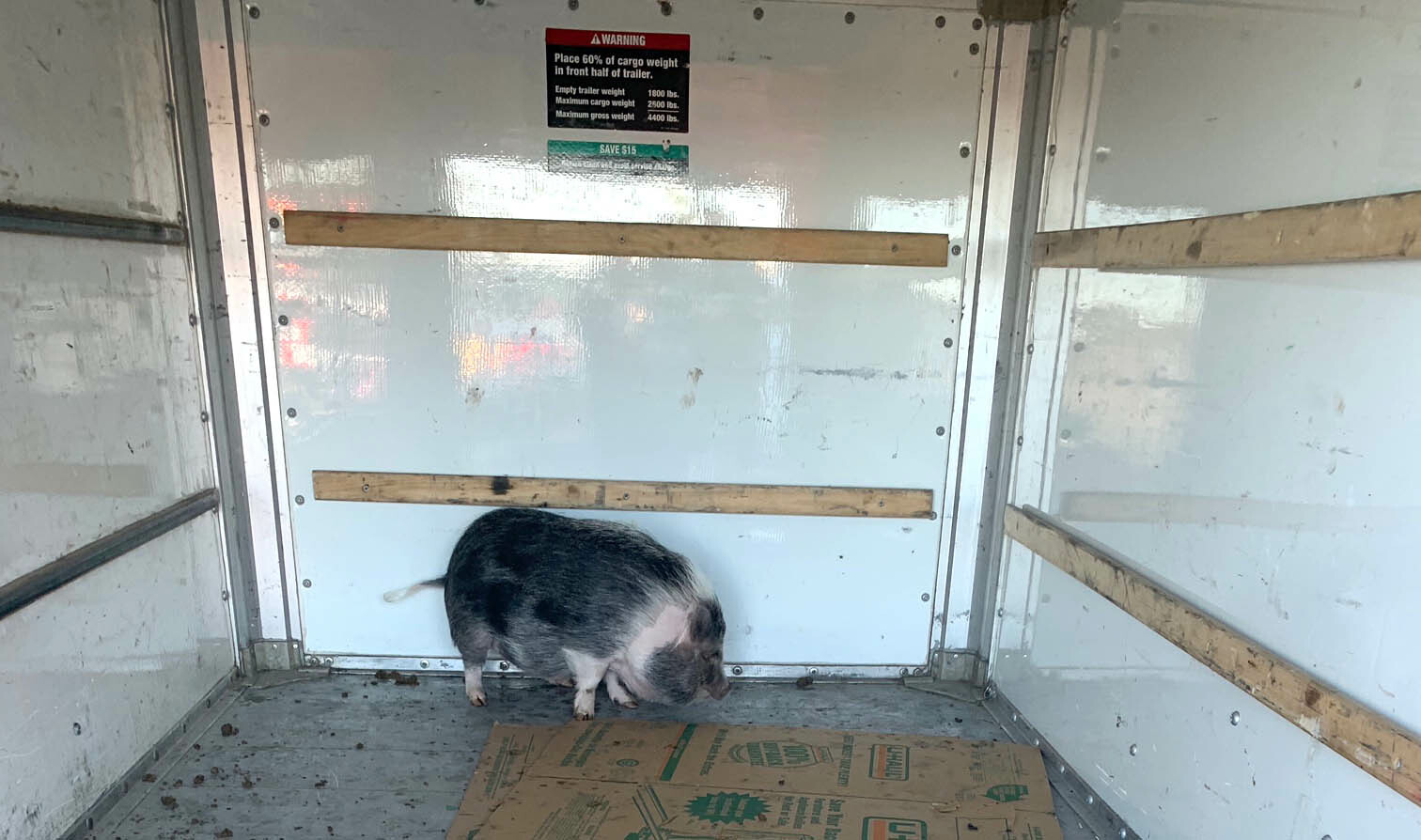 Suffolk County Police officers help round up three pigs on the side of Sunrise Highway on Friday.
