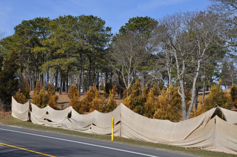 "These evergreens just off Montauk Highway in Southampton are ""protected"" every winter. But you can see that salt spray and salty air penetrate the flimsy burlap, damaging the trees 30 to 50 feet off the highway."