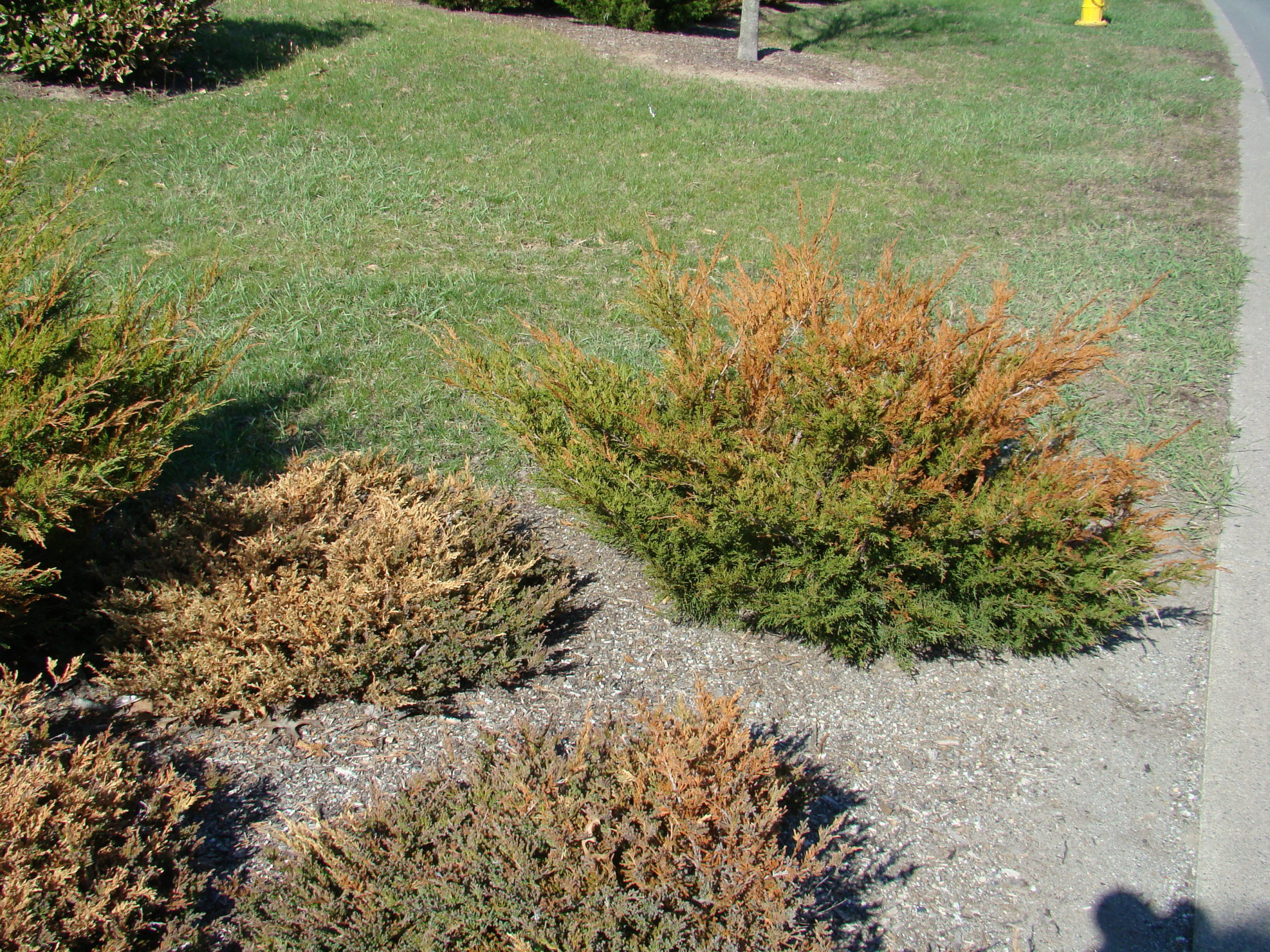 These junipers were burned in the winter from road salt applied just feet away. It appears that the damage is from roots being burned from salt splashing into the bed from the road as well as burning from salt that may have been in the snow plowed onto the planting bed.