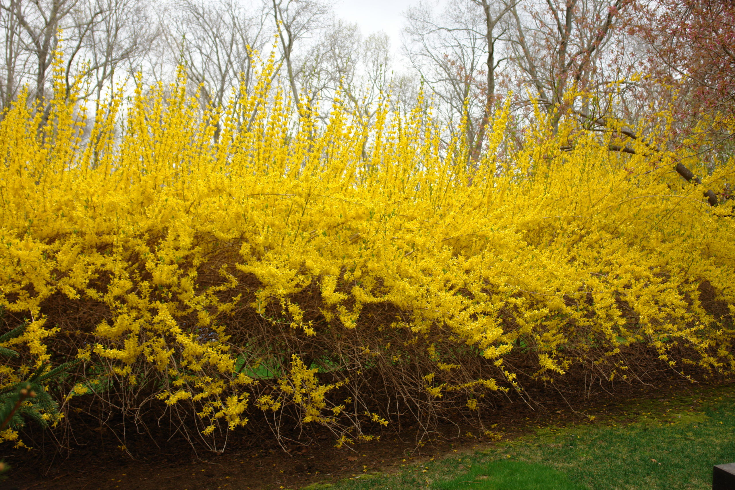 The tall and straight canes seen atop this forsythia hedge are the best to use for forcing. Forsythia canes take only two weeks to bring into color and are among the fastest. ANDREW MESSINGER