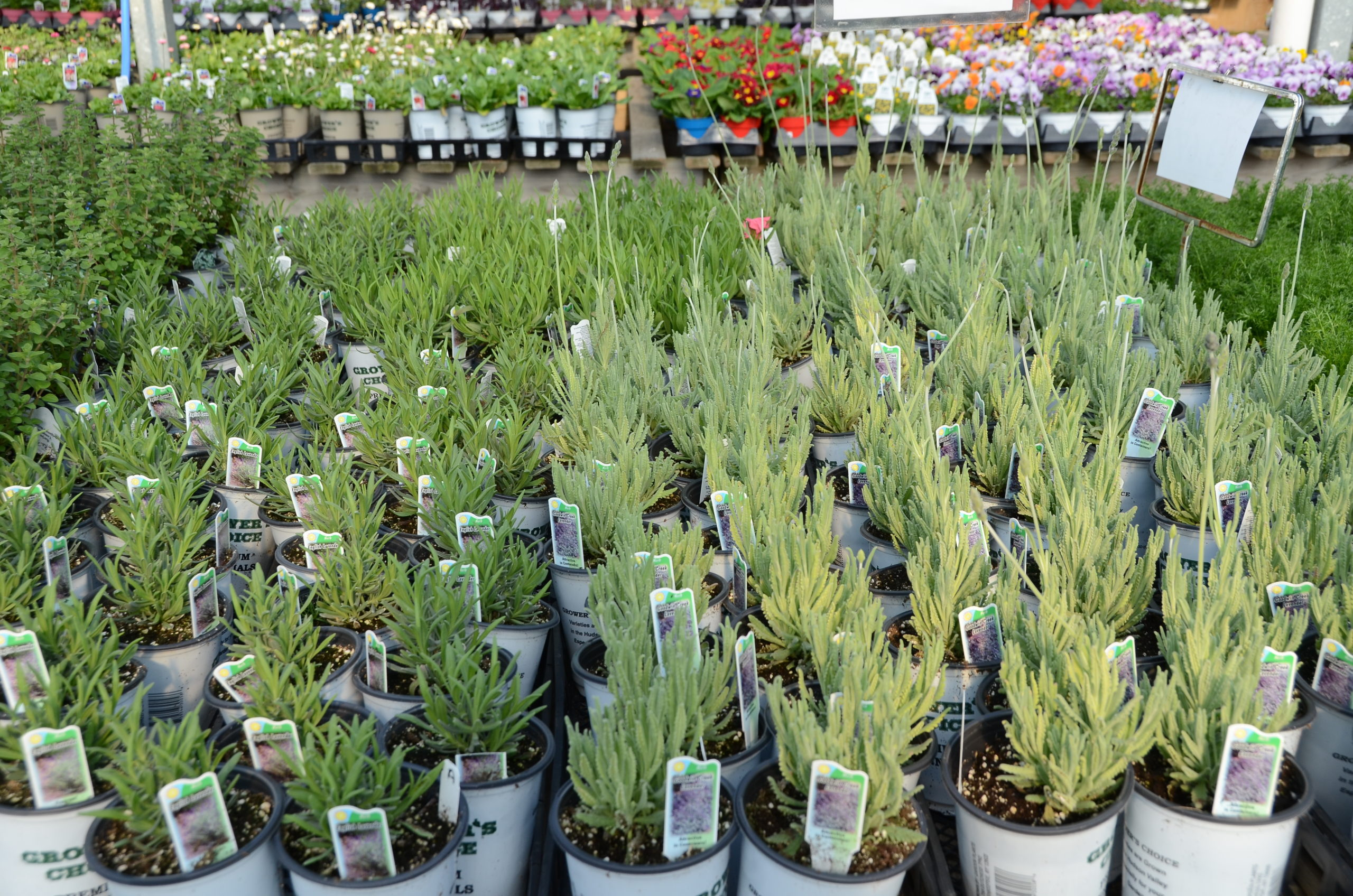 Potted lavender will start to show up in garden centers in May. They are usually available in several sizes from 4-inch pots up to gallon pots. ANDREW MESSINGER