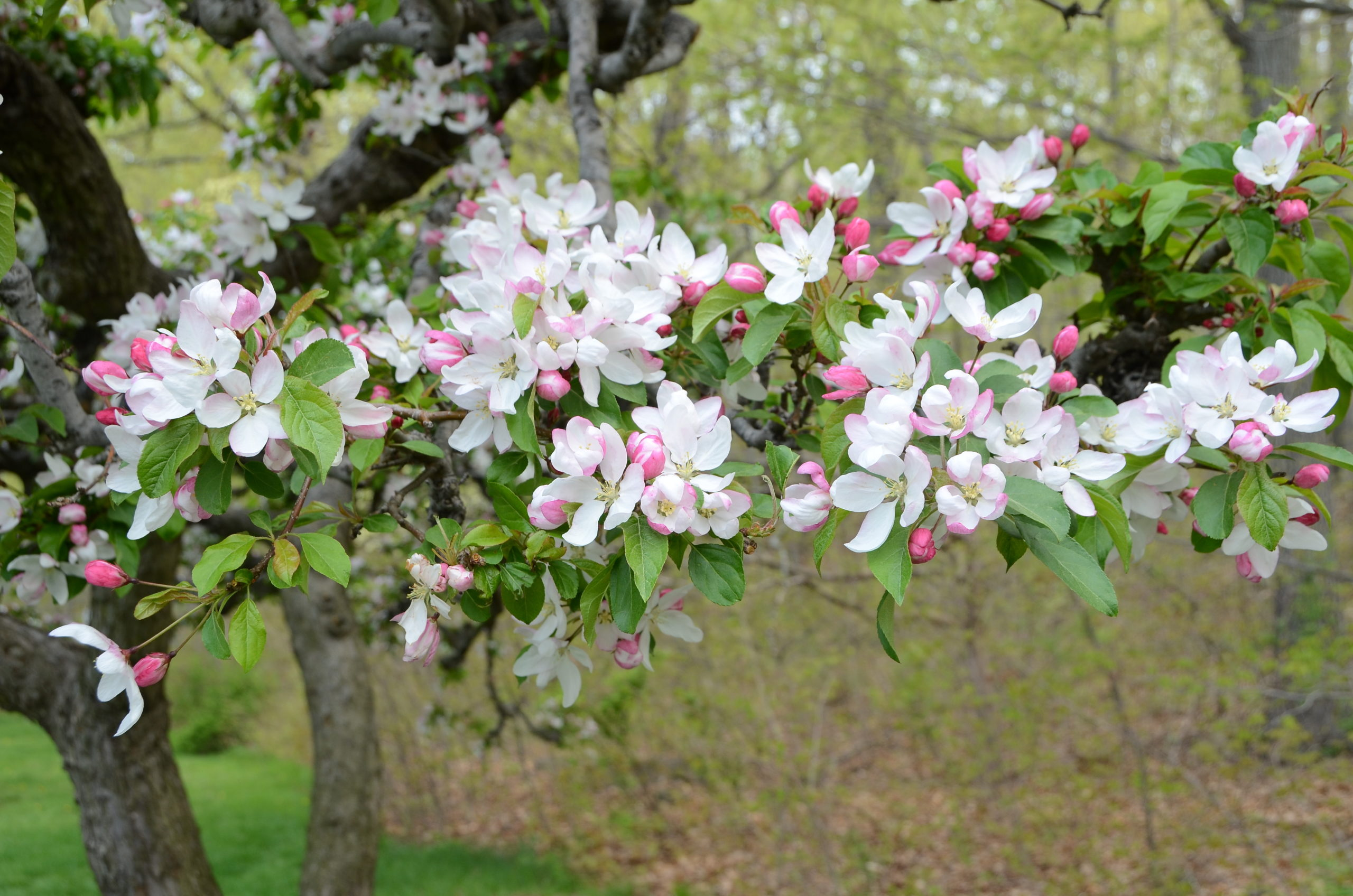 To get a crabapple branch like this to bloom indoors takes about four weeks, so a branch cut this week won't be in full flower until mid-March.  ANDREW MESSINGER