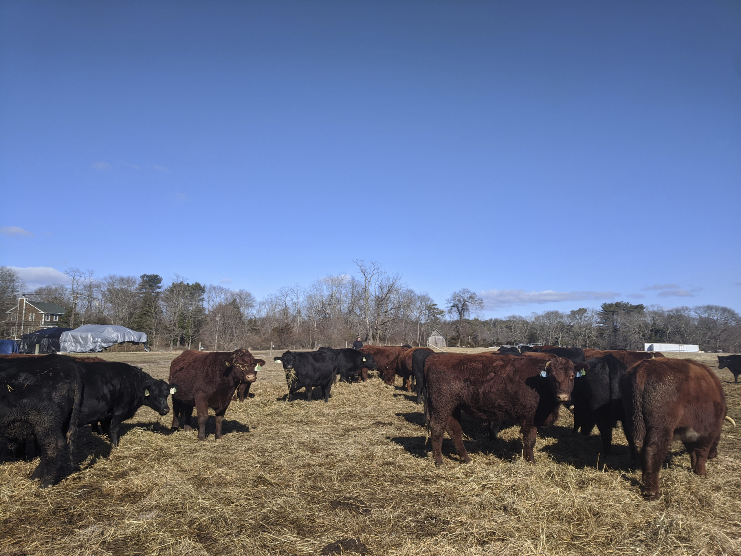 The cattle from Acabonac Farms is currently overwintering in Yaphank.    TIM SHARP