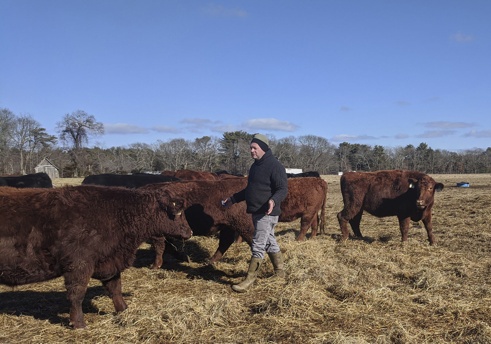 Acabonac Farms owner Stephen Skrenta with his cattle in Yaphank.
