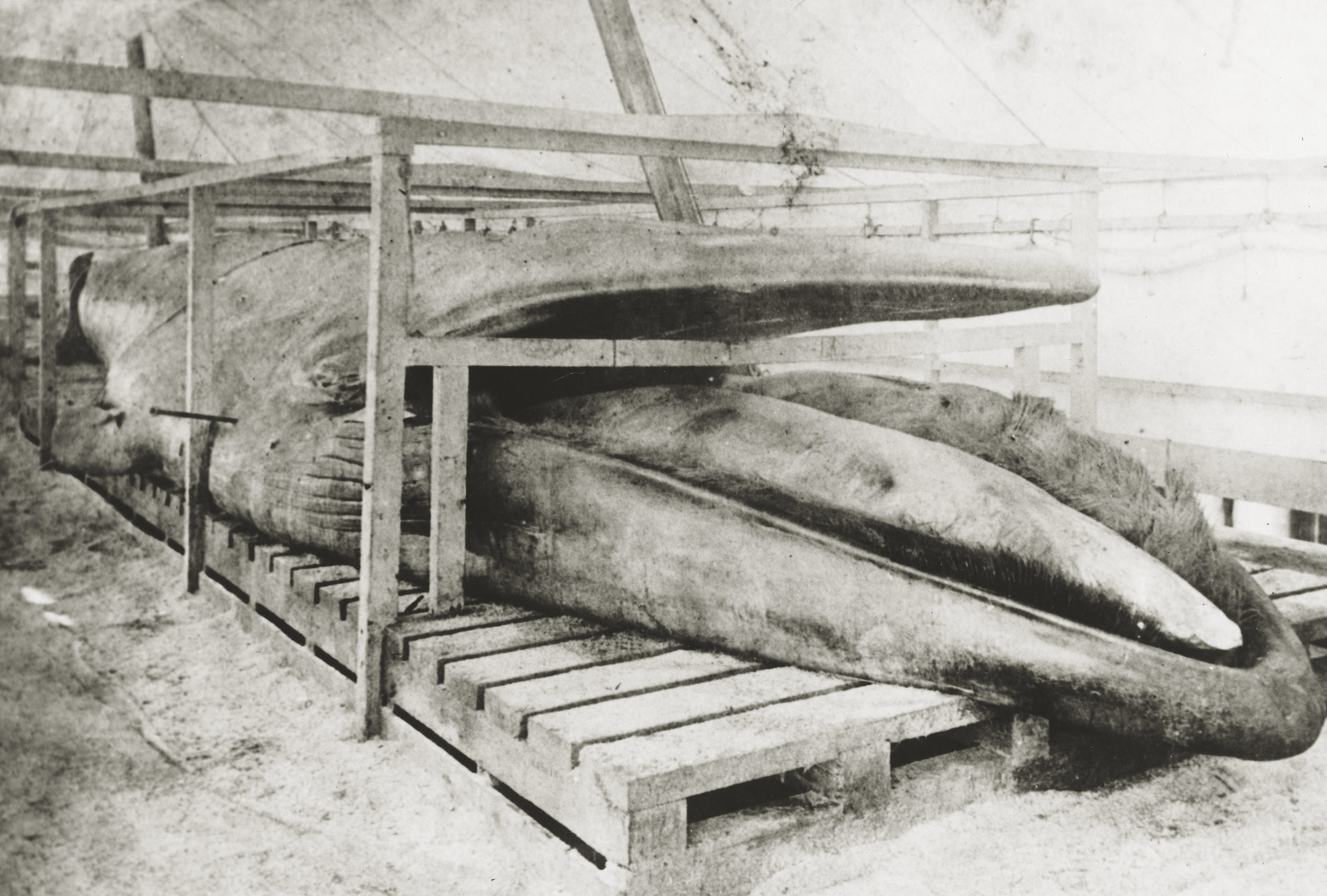 A 70-foot embalmed finback whale was exhibited at Sag Harbor's Long Wharf in 1888.     COURTESY ESTATE OF GEORGE FINCKENOR