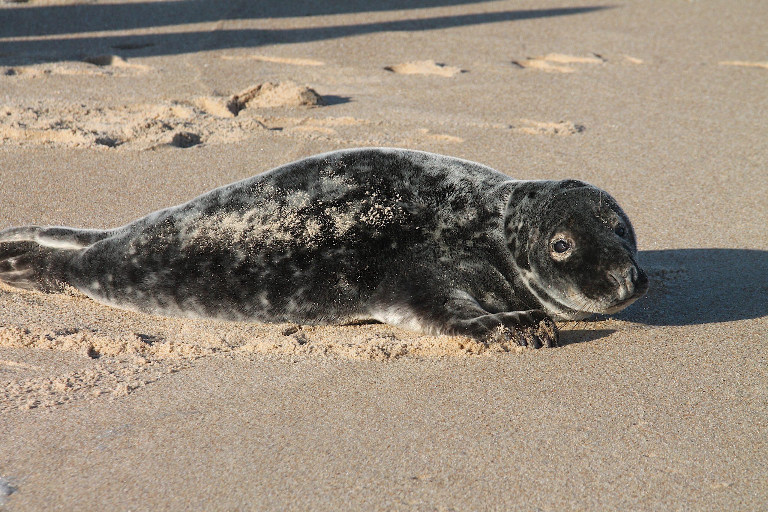 A female gray seal on the beach in Amagansett.
