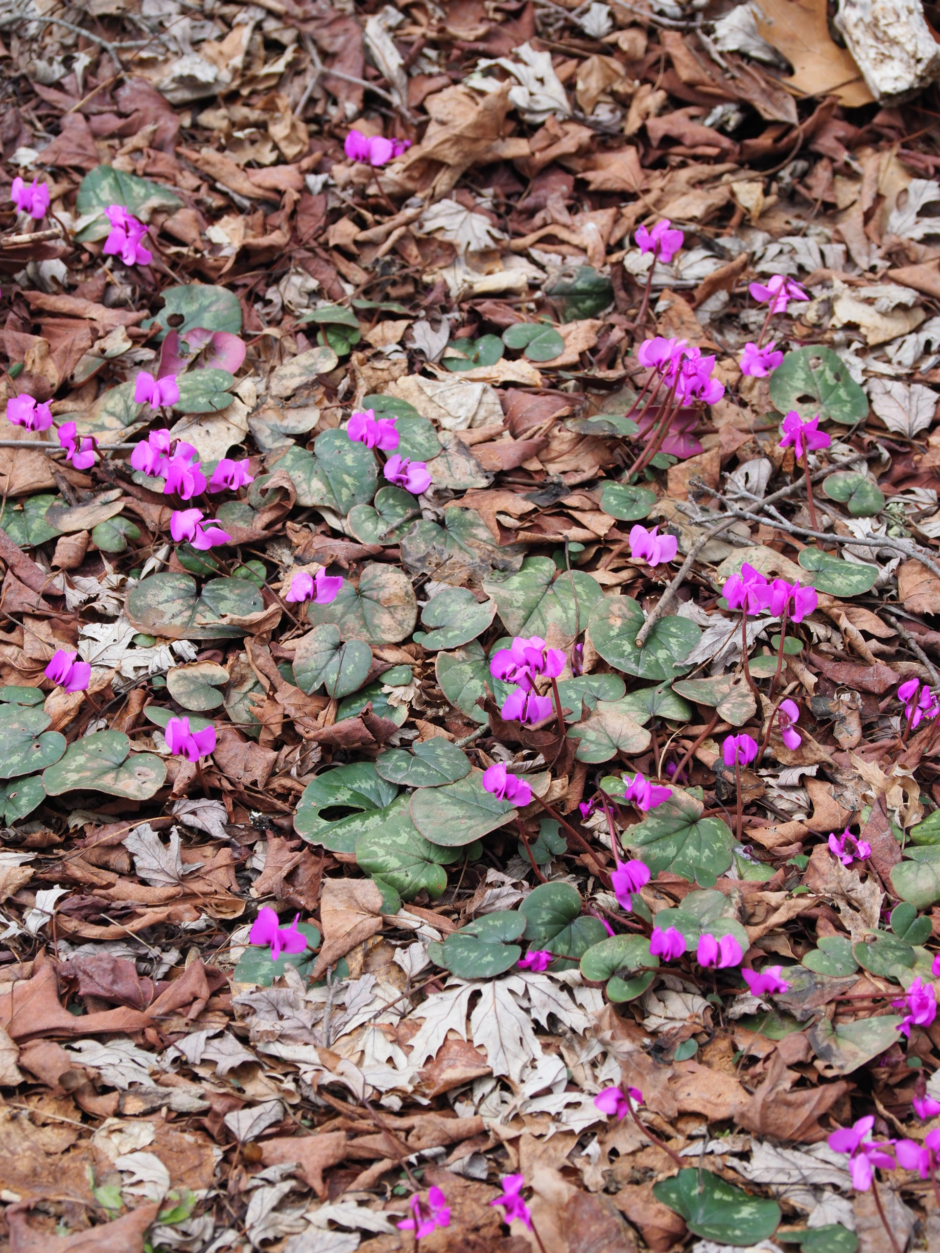 Cyclamen coum flowering at the base of a maple tree in mid-March. This plant can be grown from seed once you have some experience and patience.