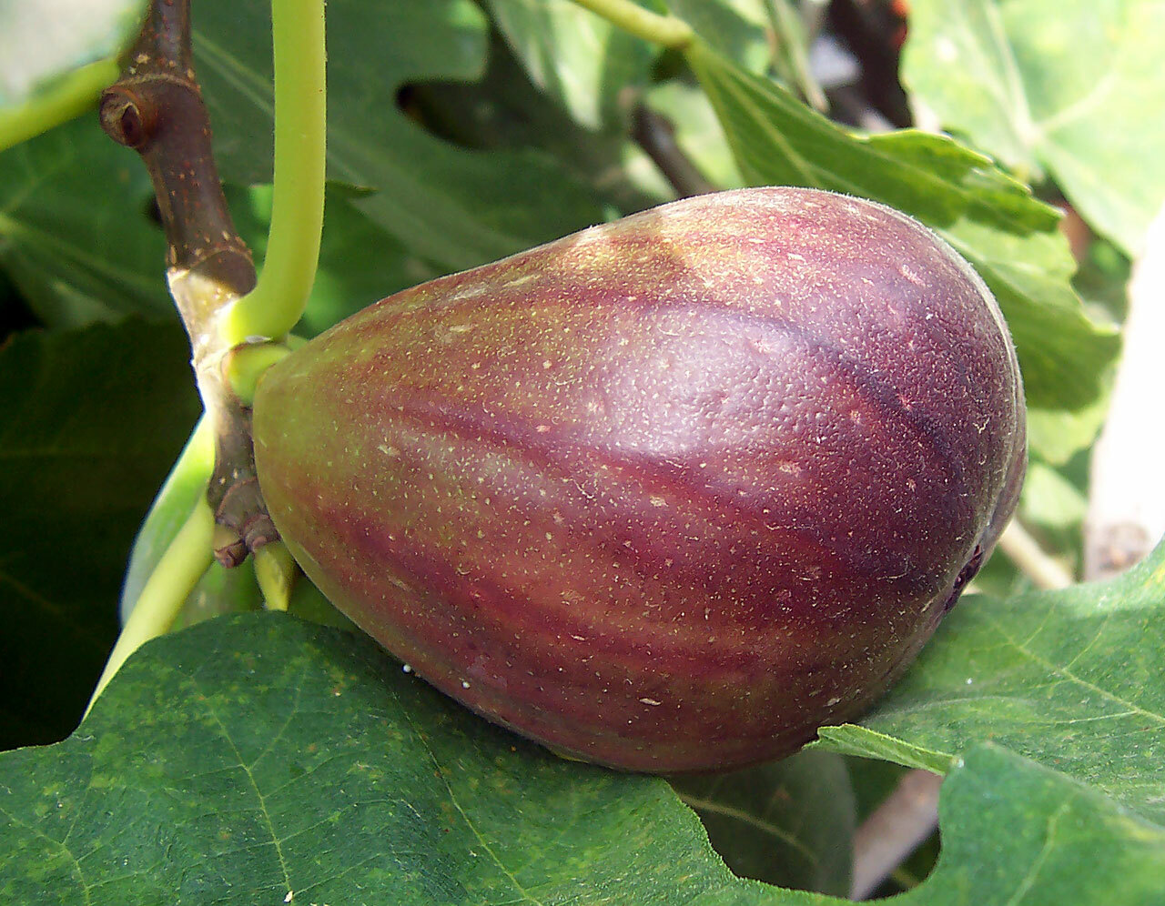 As this fig begins to ripen the color changes from green to a purple-brown then when fully ripe this variety turns totally brown and begins to slightly shrivel, which is normal. COURTESY FIR0002/WIKIMEDIA COMMONS, <a href=
