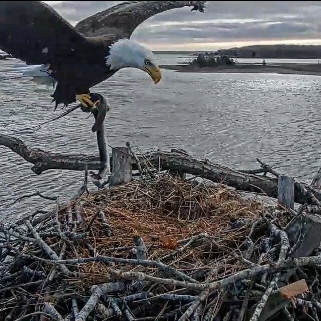 A bald eagle returns to its nest on Accaonac Harbor. MICA MARDER FACEBOOK