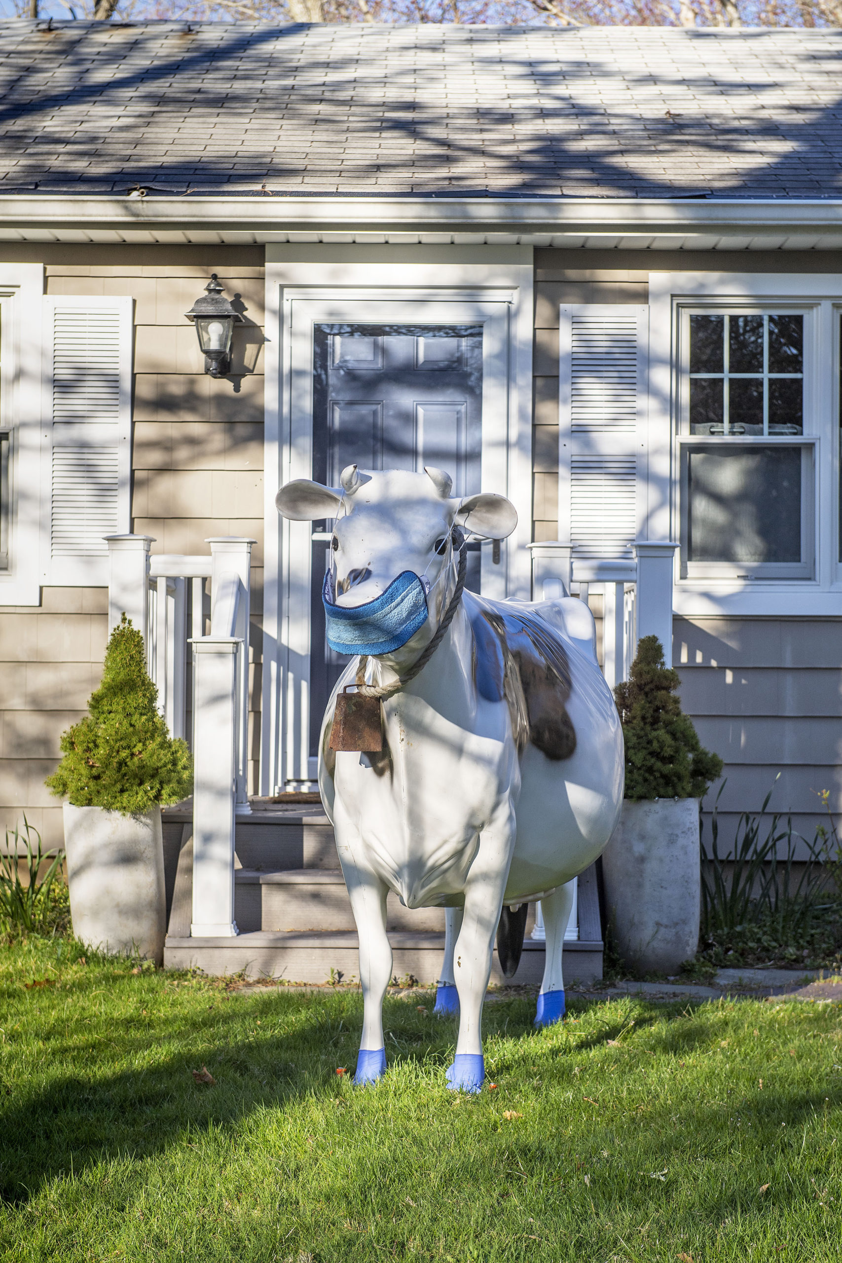 A decorative cow employing best practices on Wildwood Road in Sag Harbor.