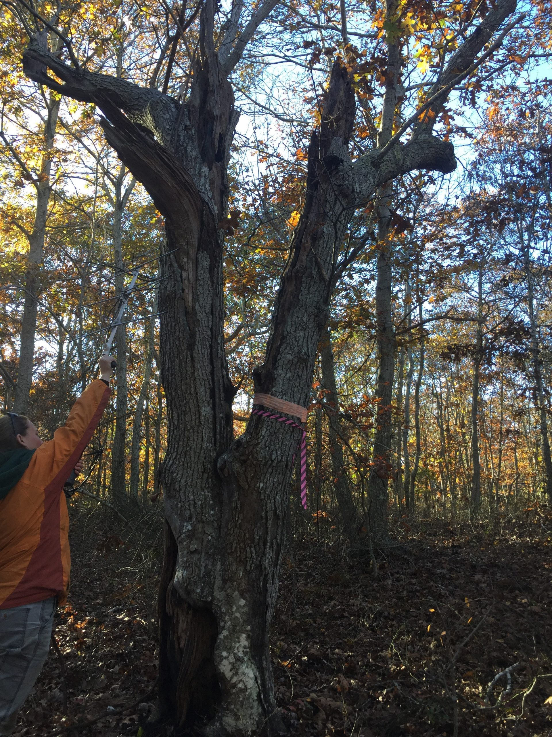 Addie Cappello confirming a northern long-eared bat roost tree through radio-tracking.
