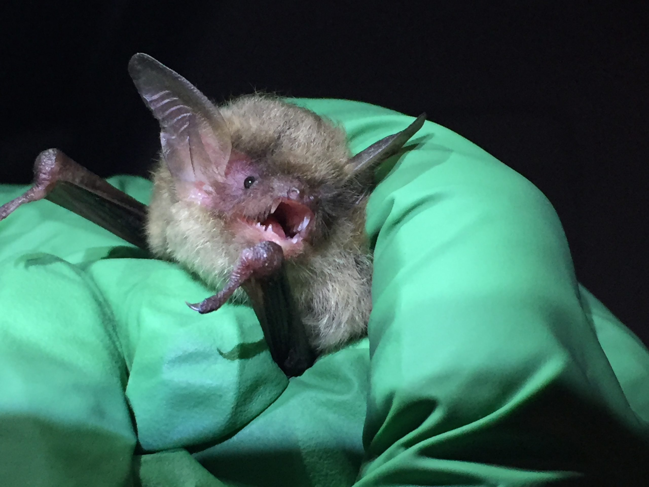 A captured northern long-eared bat waiting to be sampled for Pd (Pseudogymnoascus destructans) or white-nose syndrome.