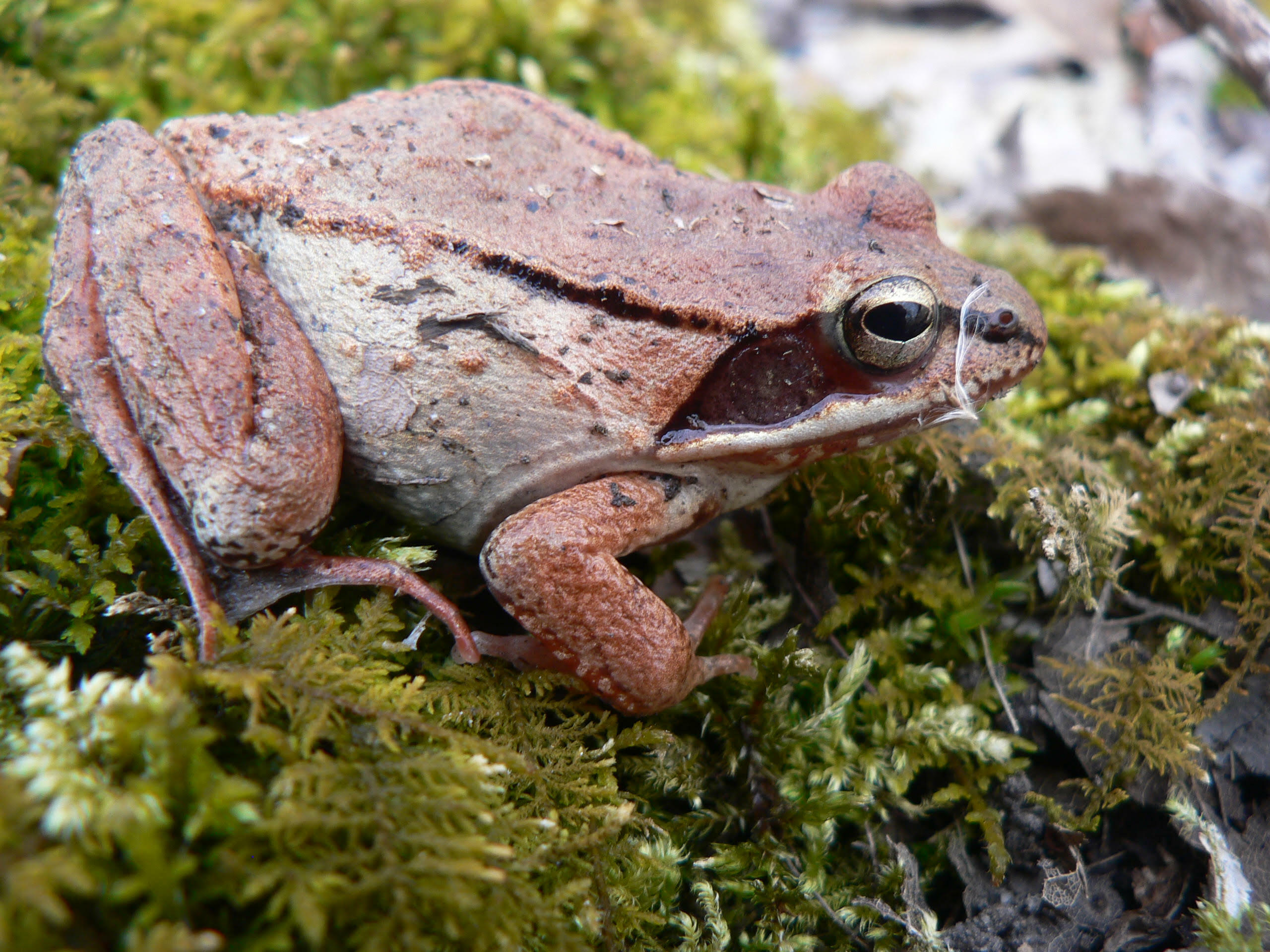 The wood frog is our earliest frog species to breed, its mating calls resembling a flock of ducks.