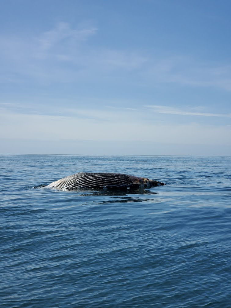 The humpback whale floating off of Moriches Inlet on Friday.  COURTESY US COAST GUARD SECTOR LONG ISLAND SOUND