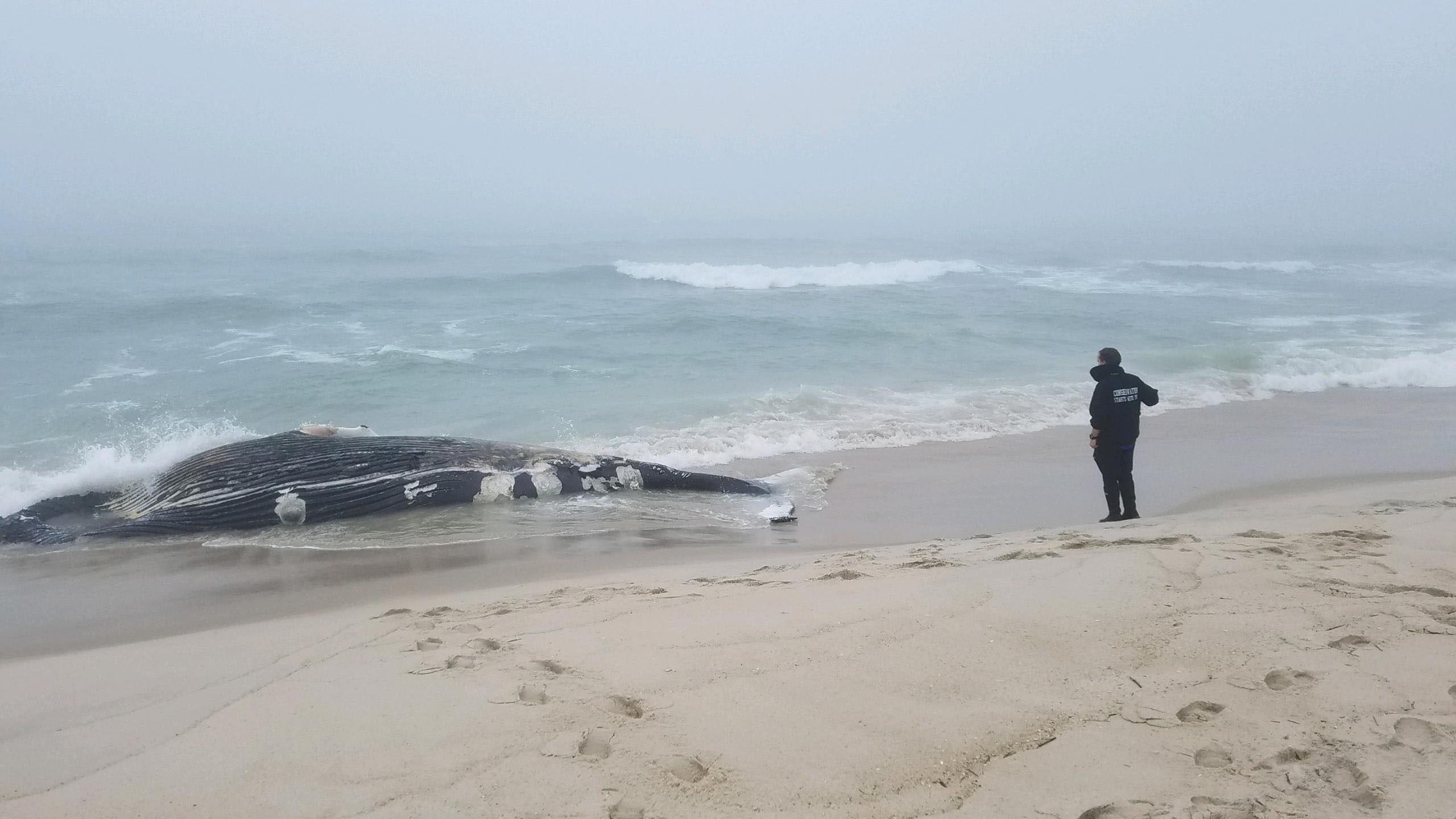 A 32-foot male, deceased humpback whale washed ashore near Cupsogue County Park on Saturday morning.    COURTESY AMSEAS