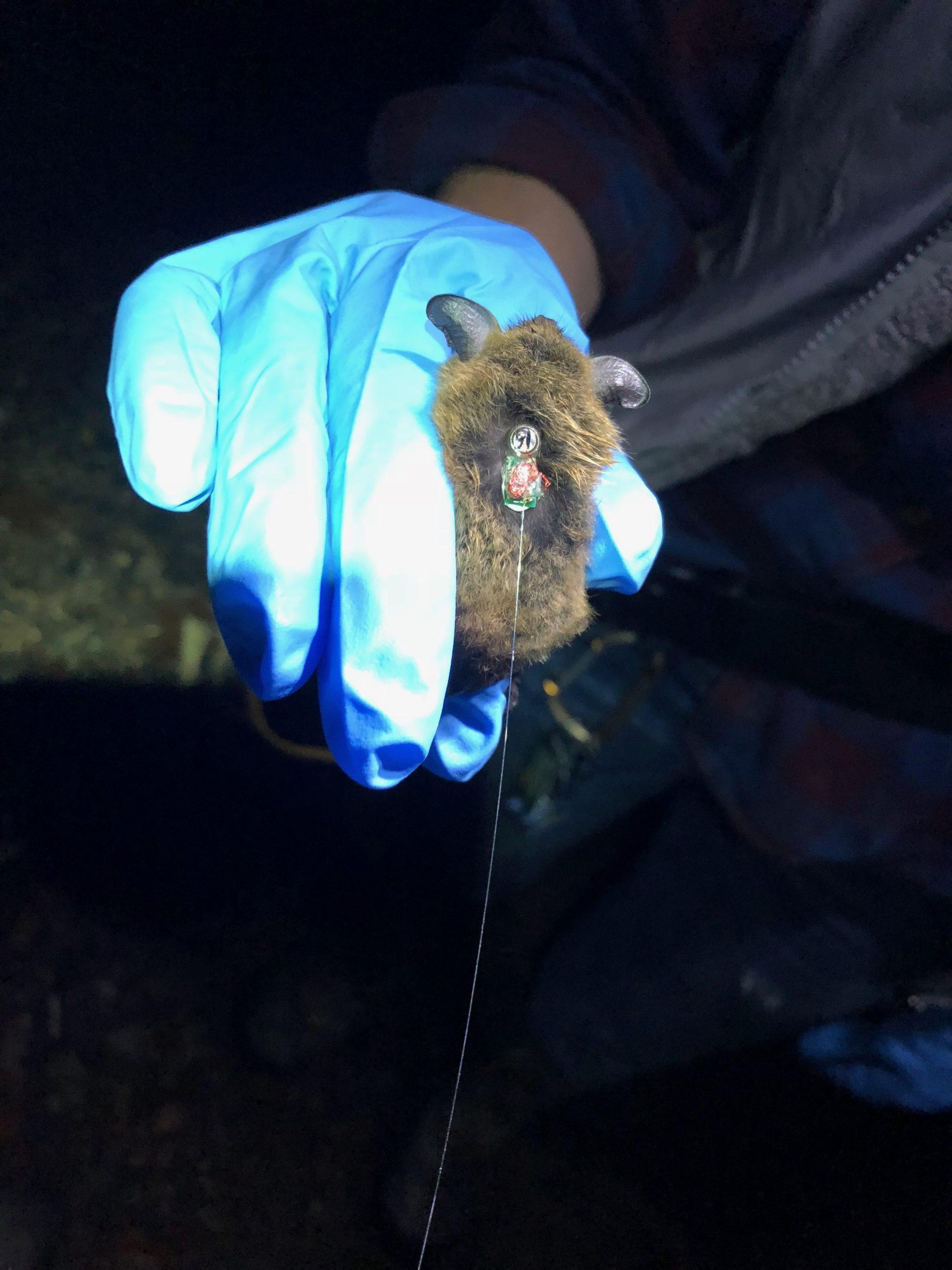 Bat detecter at Sagg Swamp Preserve.