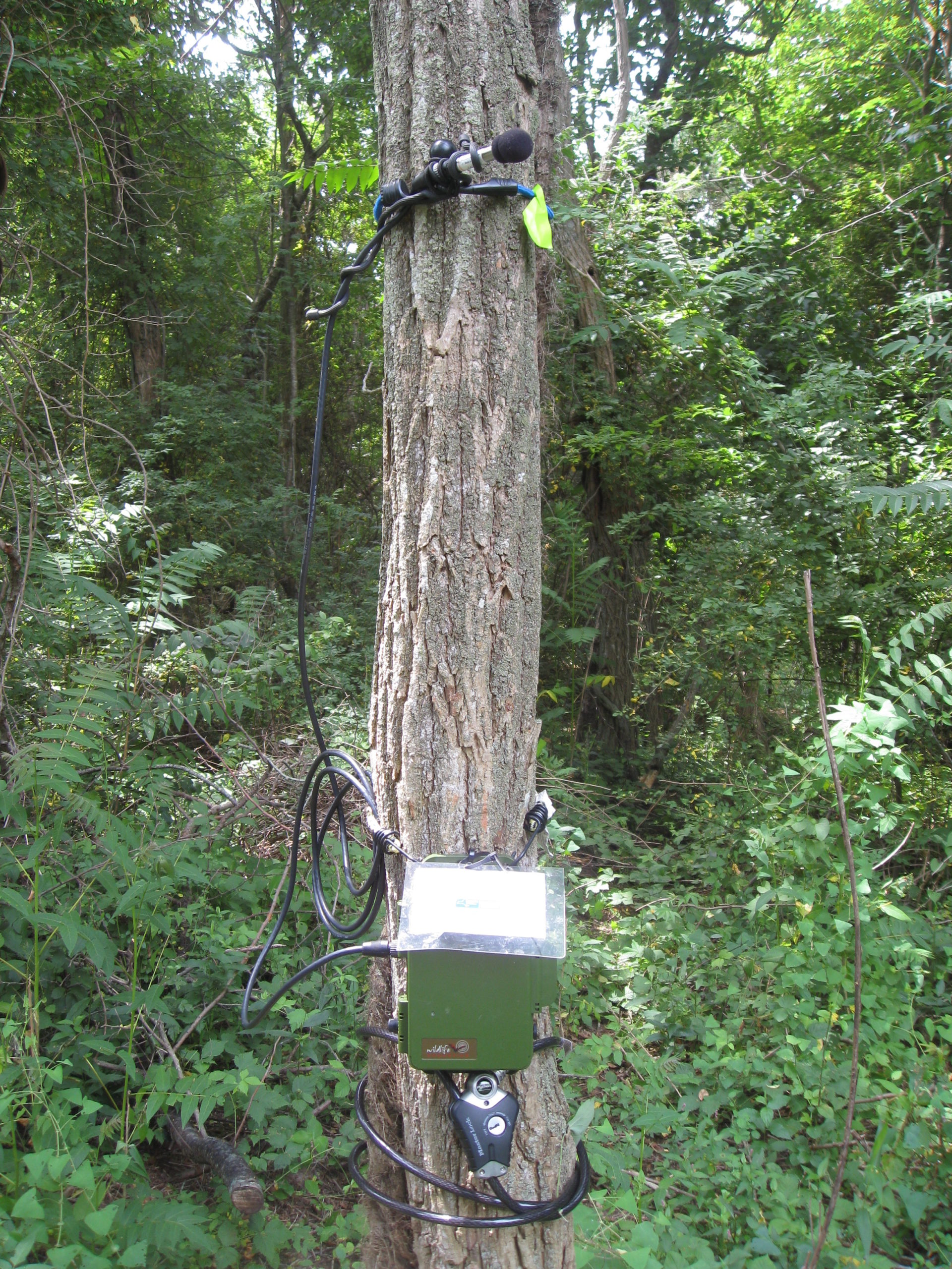 An acoustic detector set-up on a tree, deployed and ready to record.