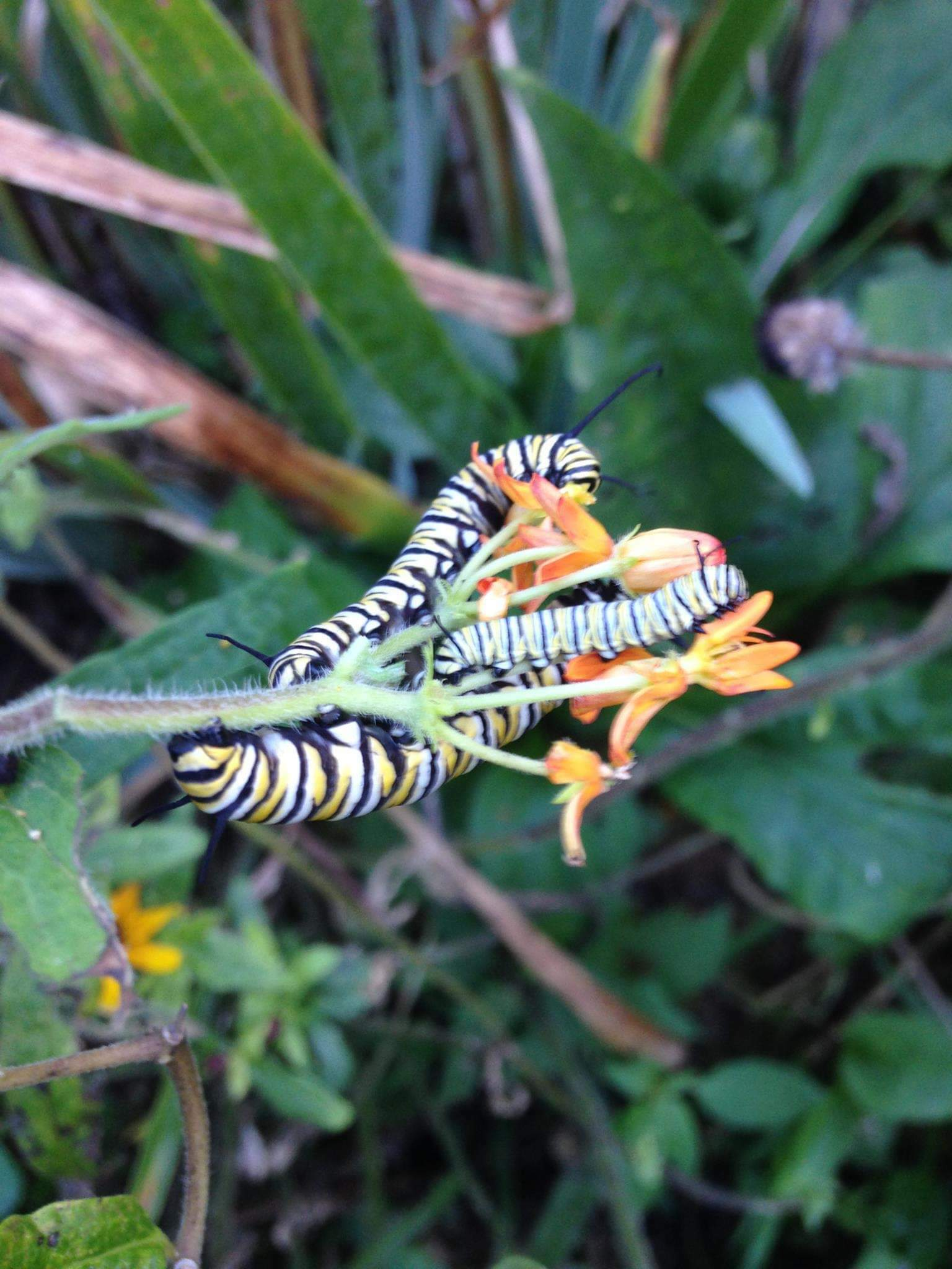 A monarch caterpiller on a milkweed plant. BRIAN SMITH