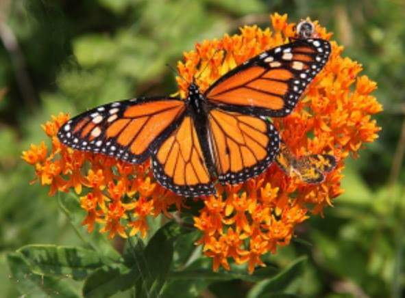 A monarch butterfly on a flowering milkweed. BRIAN SMITH
