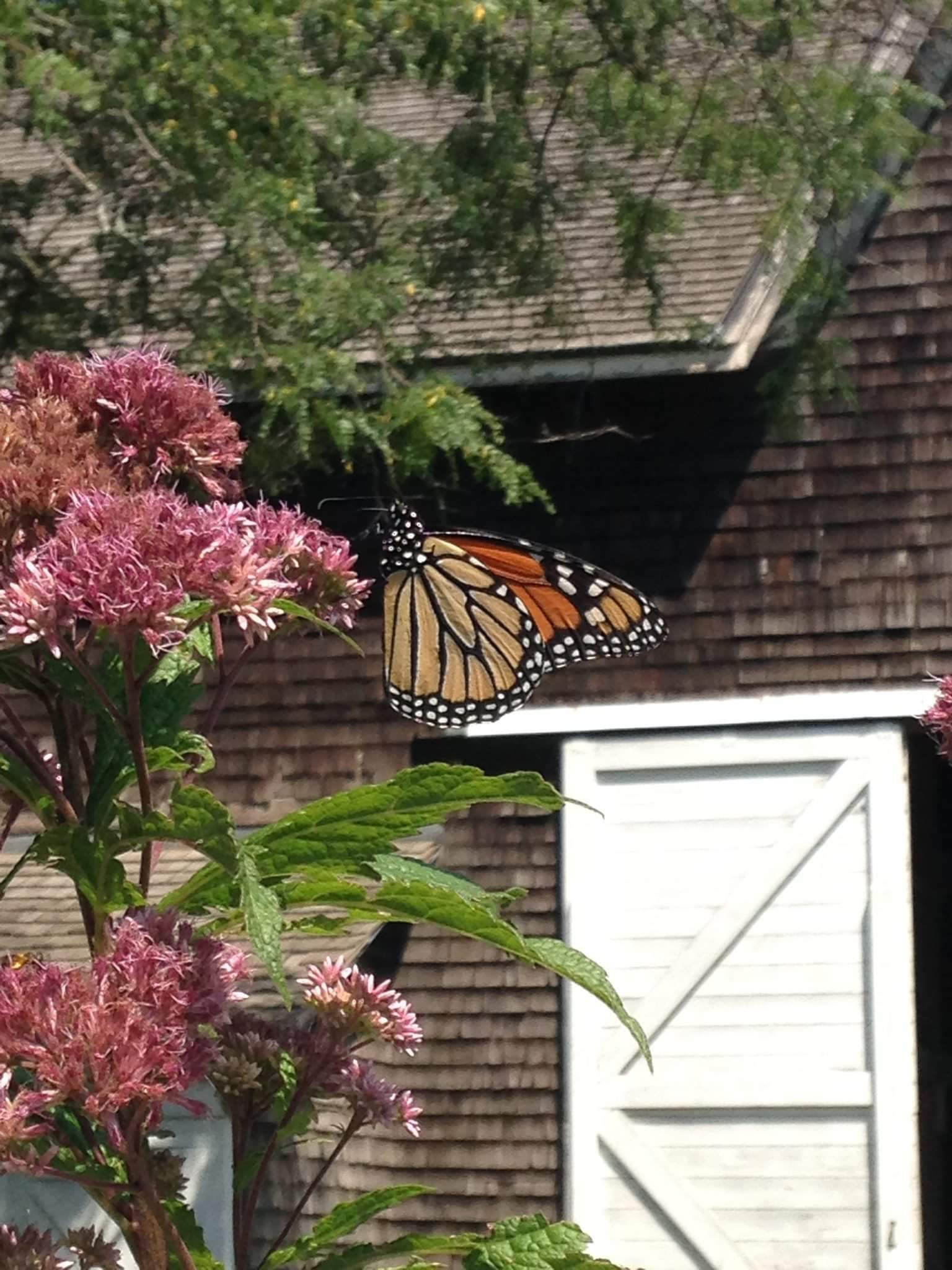 Joe Pye weed with monarch butterfly. BRIAN SMITH