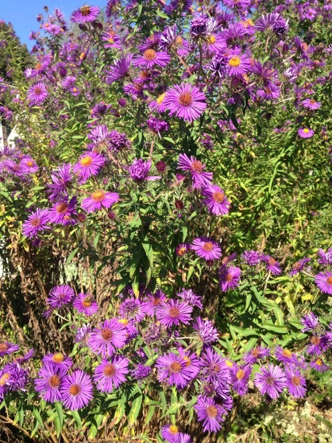 New England aster. BRIAN SMITH