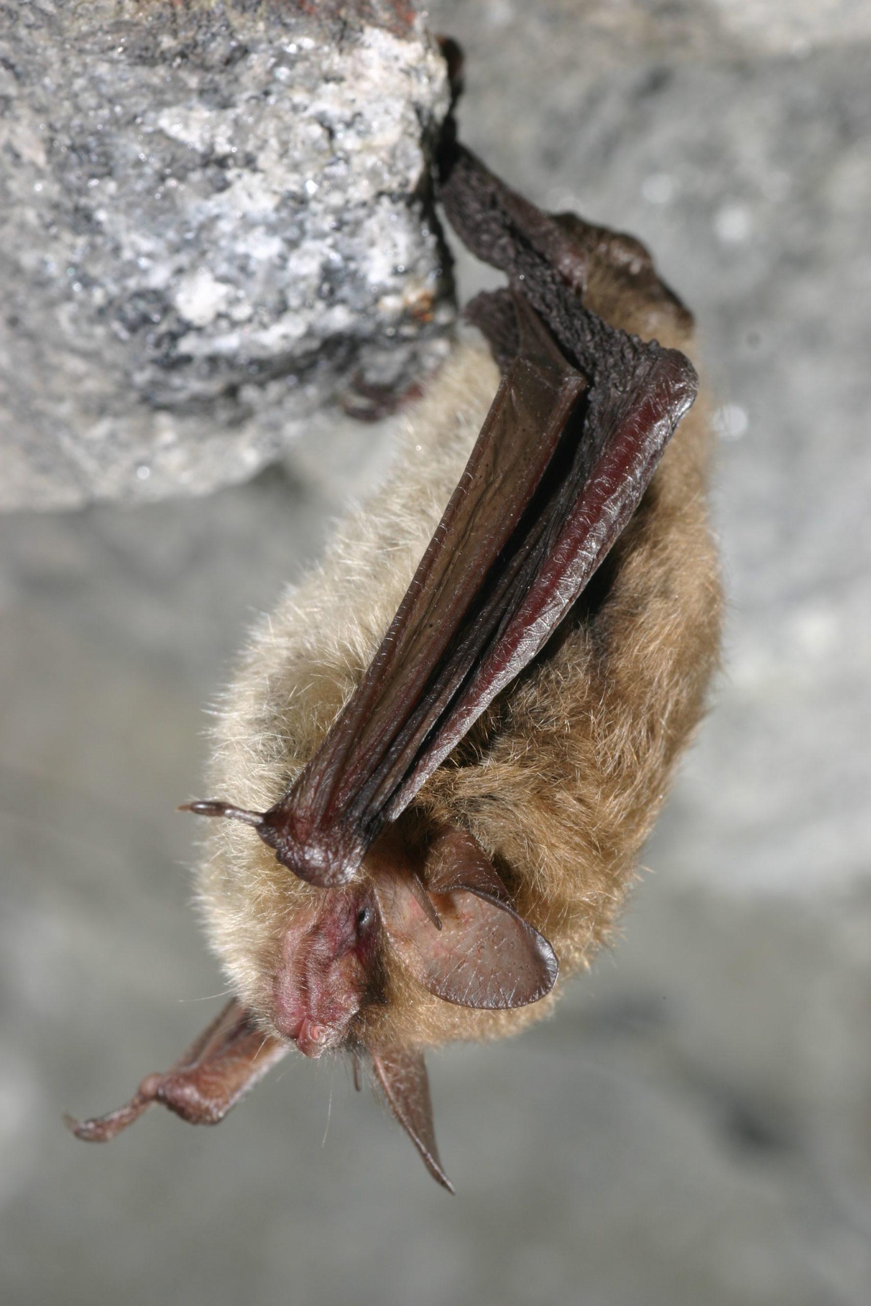 Northern long-eared bat in its hibernation spot.