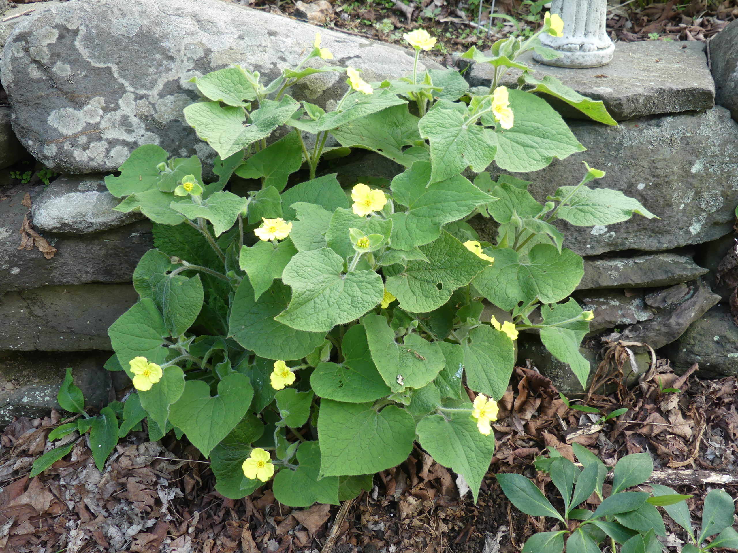 Saruma henryi, or the upright wild ginger, is a delightful plant for the shaded garden. The plant grows to about 15 inches and is covered with half-inch yellow flowers. Removing spent flowers will result in 3 weeks of blooms.