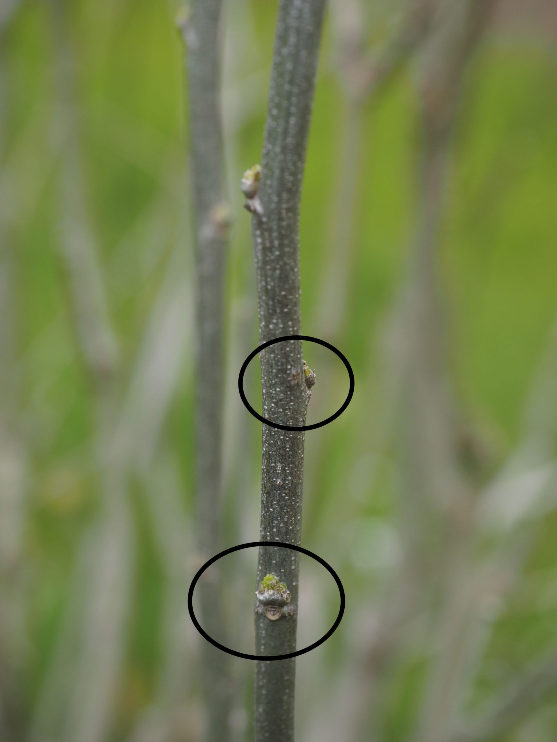 A year old stem, about the thickness of a pencil, with dormant buds (ovals). Since stems may die back in the winter wait to prune until you see the dormant buds 'leaf out' and show green. If you cut just above a out facing bud the new branch will likely emerge there, facing out. Avoid too many prunes with buds facing inwards where the display can get lost amid the foliage.  ANDREW MESSINGER