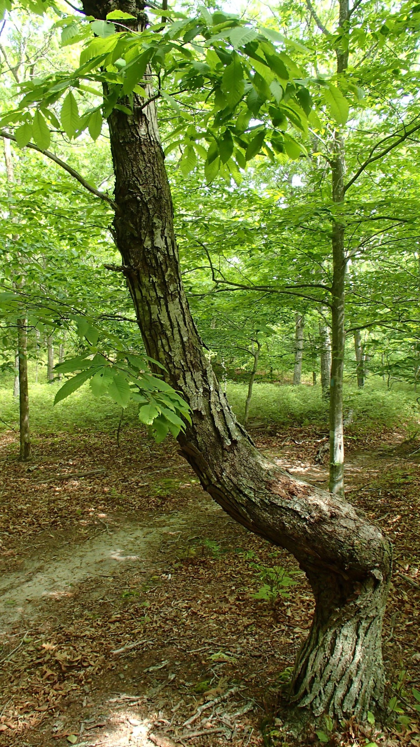The mature American Chestnut growing in the Peconic Land Trust's Silver Beech Preserve.   MIKE BOTINNI