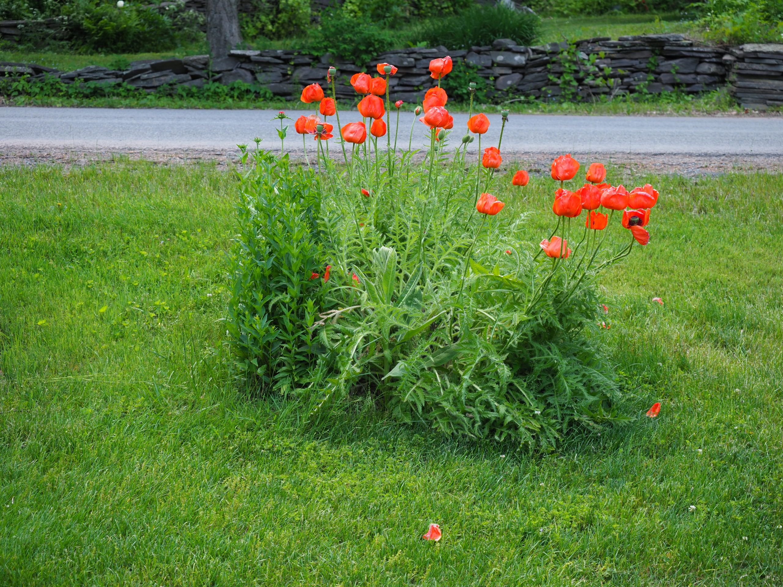 Orange Oriental poppies