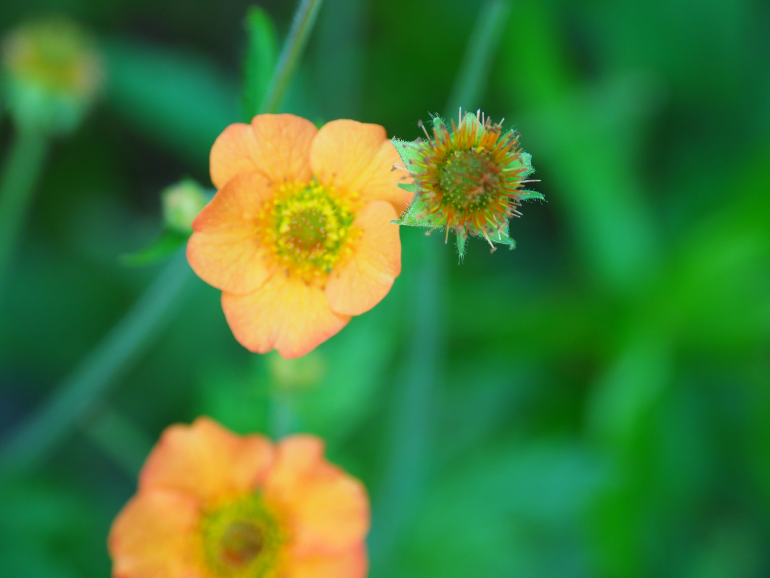 The flower of Geum