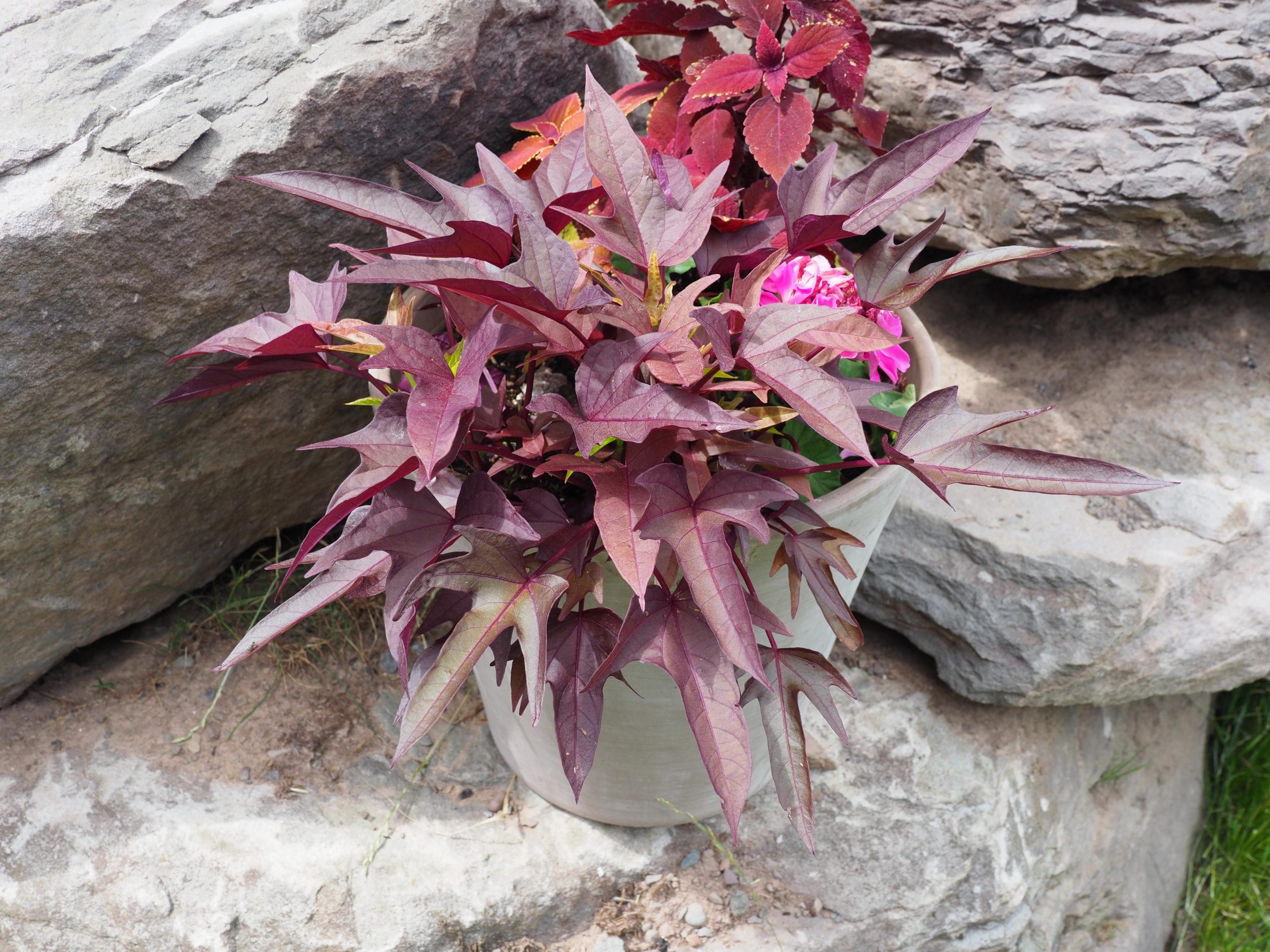 A different color sweet potato vine,
