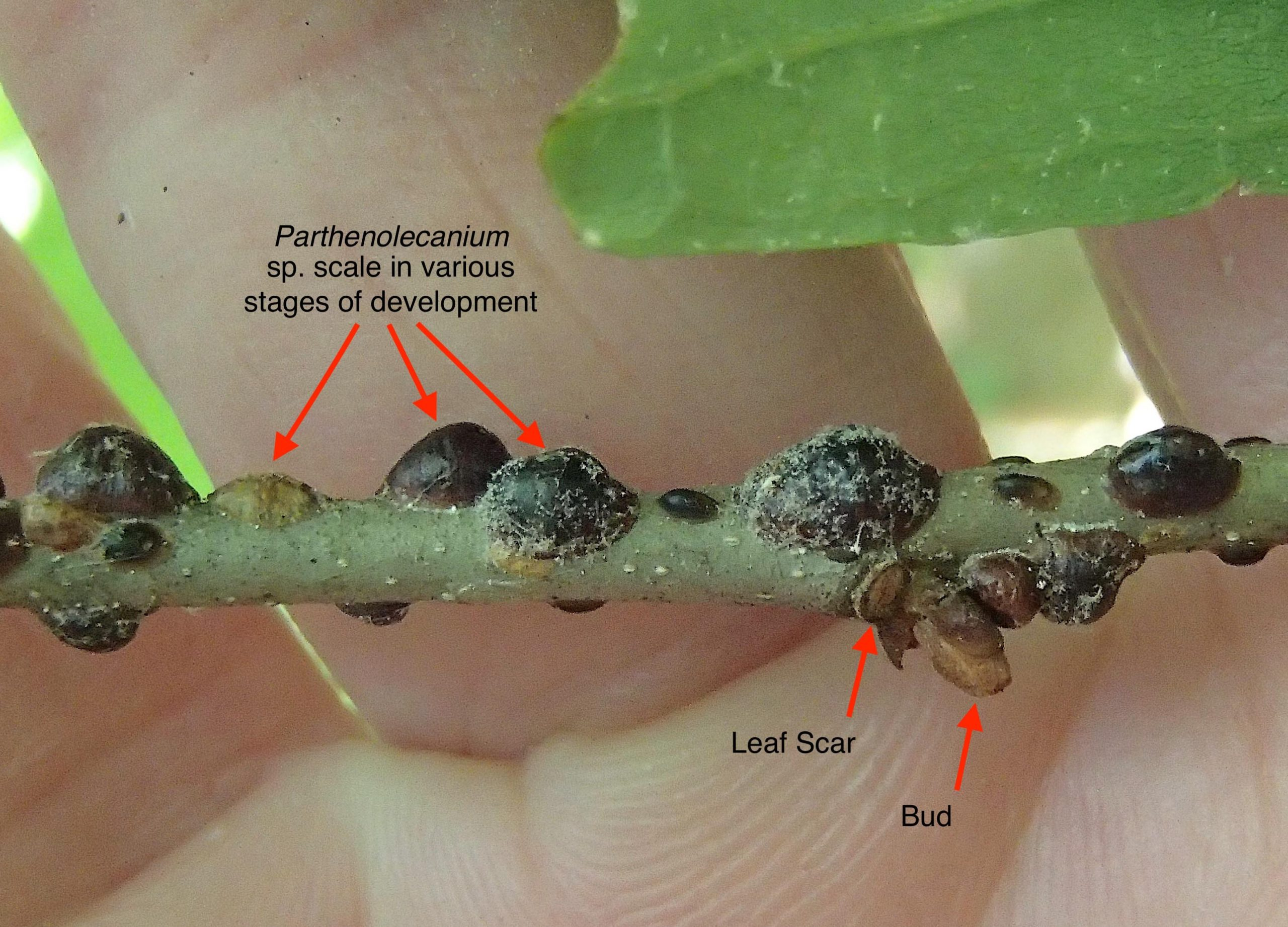 A Chestnut twig infested with scale insects.   MIKE BOTINNI