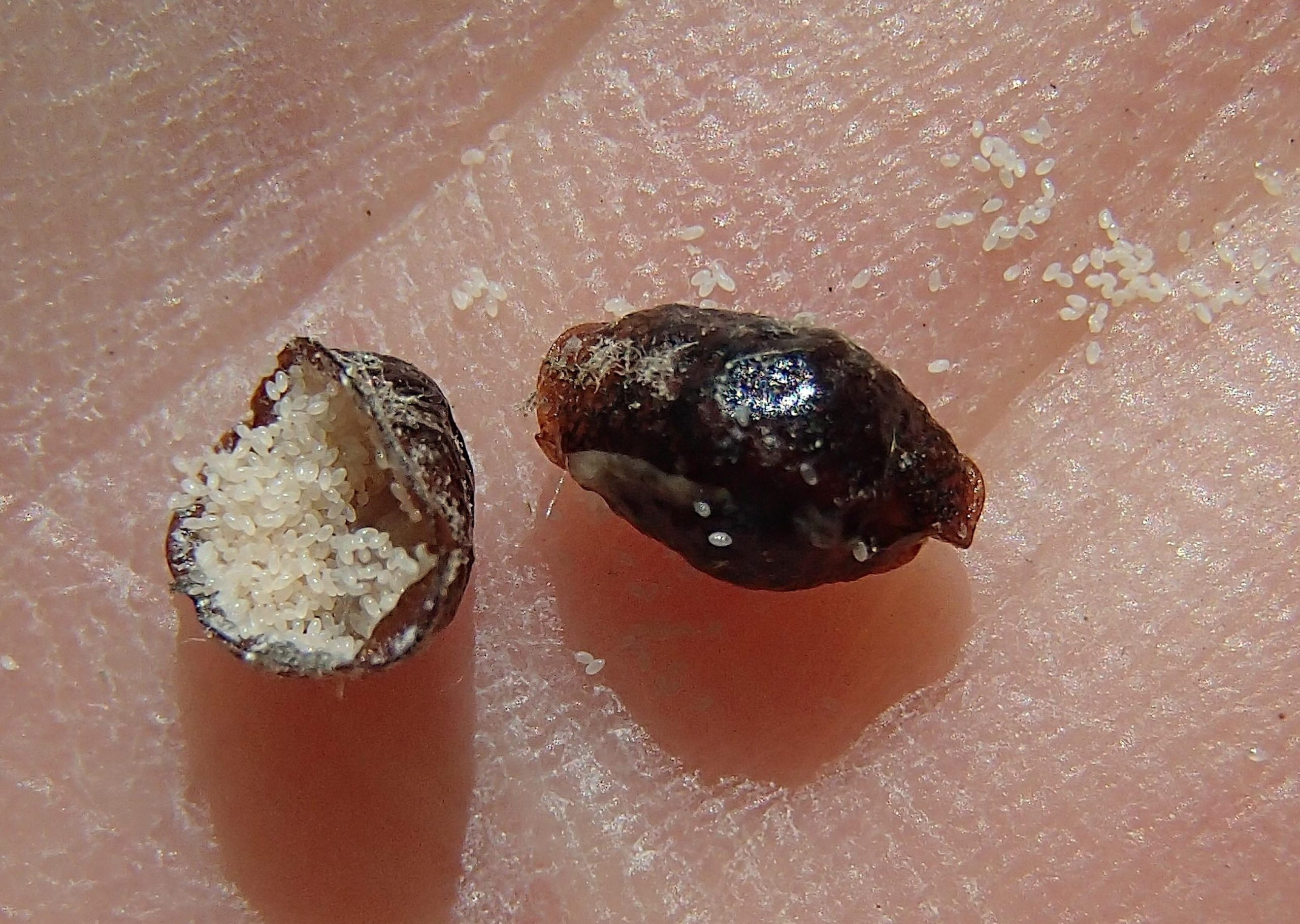 Dead female scale insects full of scale eggs that are ready to hatch.   MIKE BOTINNI